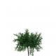 Asparagusbusch, lunghezza 24 centimetri, verde